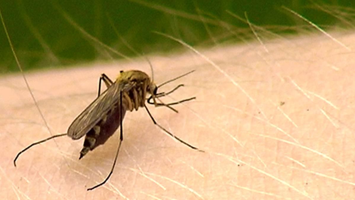 Hyttysten määrä