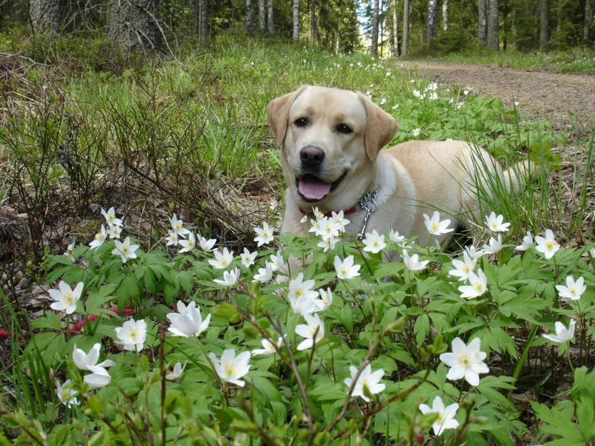 Koiran borrelioosi testi hinta