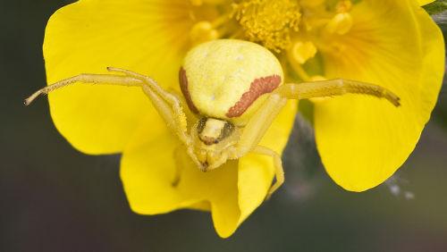 Kukkaravukkinaaras on keltainen keltaisella kukalla.