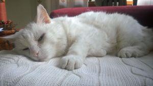 Nöpö kissa on Suomen seniorein lemmikki.