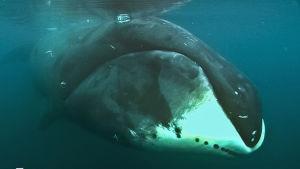 Avara luonto: Jäämeren jättiläinen, yle tv1