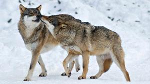 Avara luonto: Eläinmaailman kosiomenoja, YleTV1