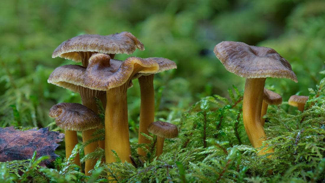 Herkkutatti, kantarelli, suppilovahvero - aloittelijan sieniopas mukaan metsään | Luonto | yle.fi