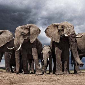neljä afrikannorsua seisoo rivissä, poikanen keskellä