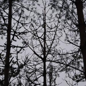 Tallar på Kimitoön som drabbats av sjukdom.