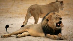 Lejonet Cecil dödades av en jägare.