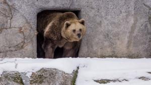 Björnarna vaknar ur vinteridet