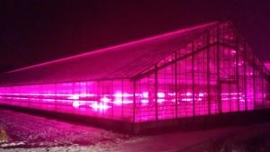 Växthus i Närpes lyses upp av LED-lampor.
