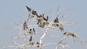 Skarvträd