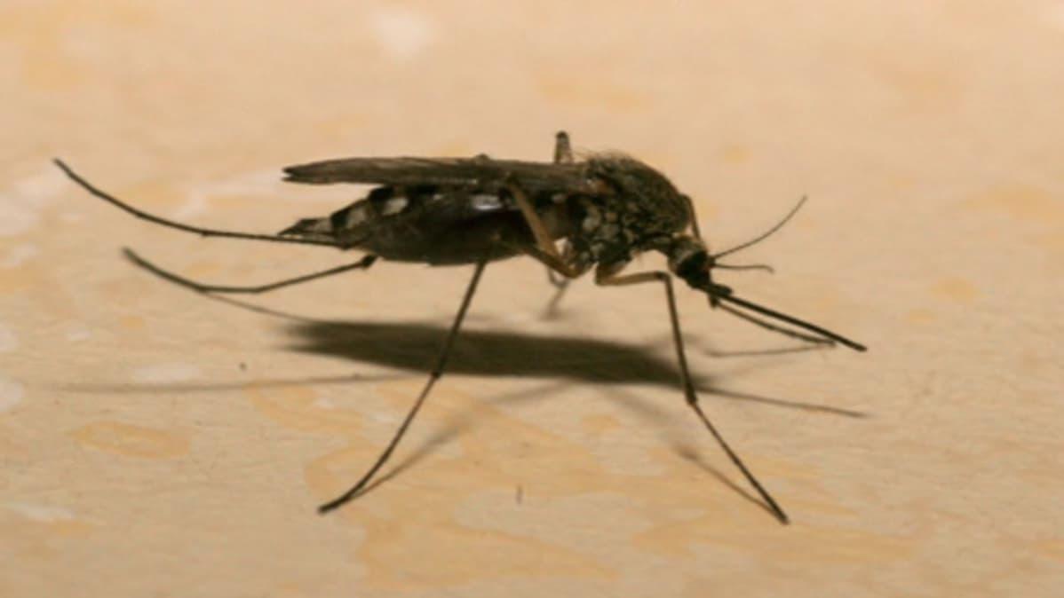 Hyttysen Elinikä