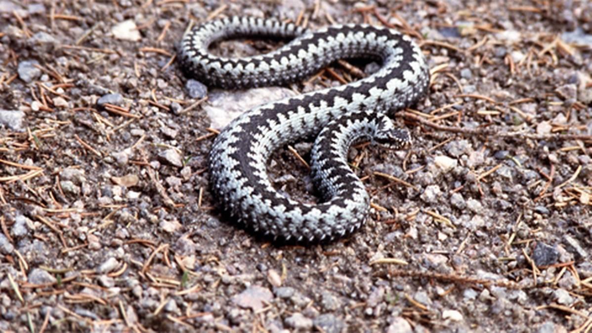 Myrkylliset Käärmeet