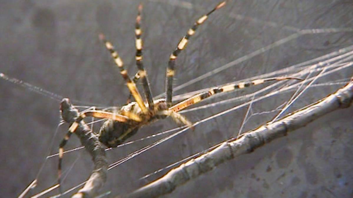 Hämähäkit Sisätiloissa