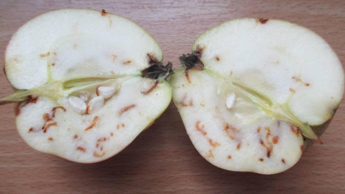 Tursuileeko komposti koinsyömiä omenoita? – Älä heitä omppuja hukkaan vaan me