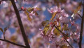Видео: Uutisvideot: Kukkaan puhjenneet kirsikkapuut houkuttelivat helsinkiläiset liikkeelle