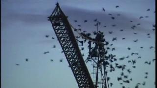 Video: Uutisvideot: Puoli miljoonaa rauhoitettua naakkaa