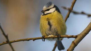Audio: Sinitiainen - suuri lintu pienen linnun hahmossa