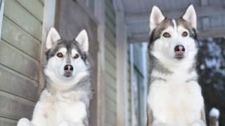 Audio: Koirasusiin tutustumassa Kouvolassa