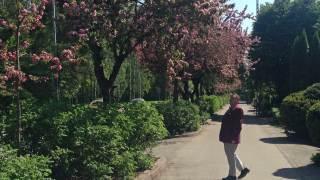 Audio: Koristeomenapuut parhaassa kukassa