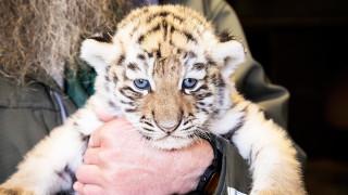 Audio: Hyvää kansainvälistä tiikeripäivää!
