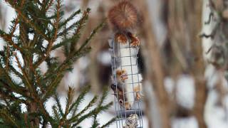 Audio: Orava kahlekuninkaana