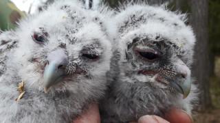 Audio: Lehtopöllön poikasten kevät