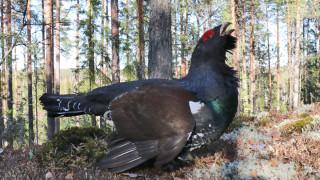 Audio: Taisteleva metso hyökkäykseen käy