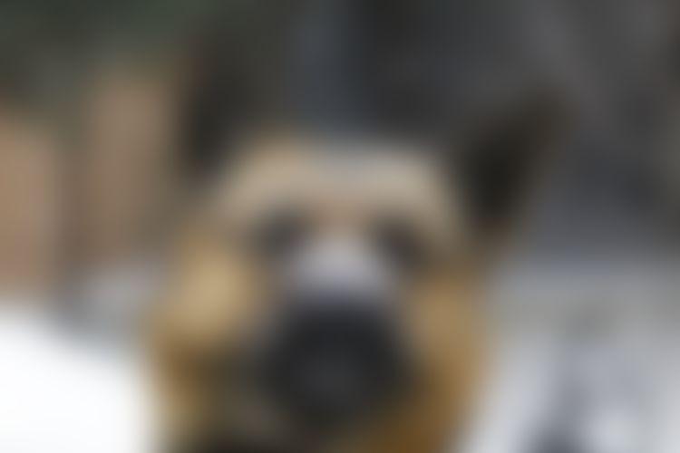 Tutkimus: Stressi harmaannuttaa koiran kuonon | Yle Uutiset | yle.fi