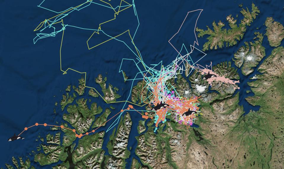 Satelliittiseurannan mukaan ryhävalaat uivat melkoista siksakkia Tromssan läänin koillisosan vuonoissa.