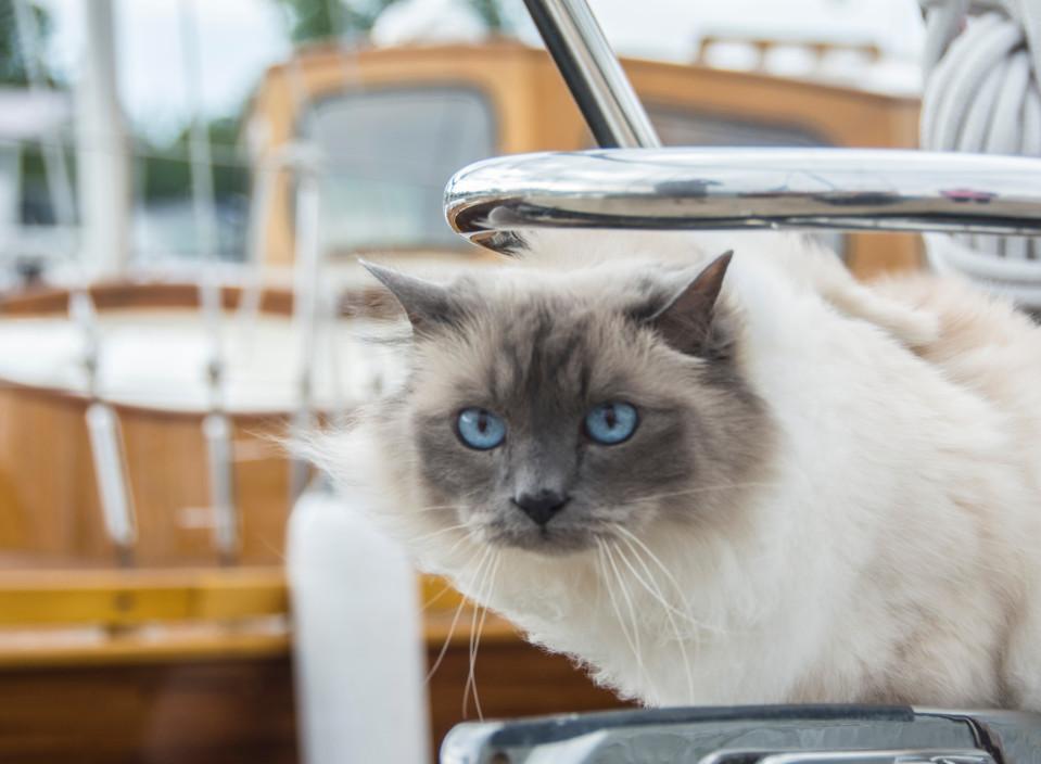 Jussi-kissa on kokenut purjehtija – se tuo venereissuille onnea ja iloa, mutta inhoaa sitä, kun tuuli sotkee turkin