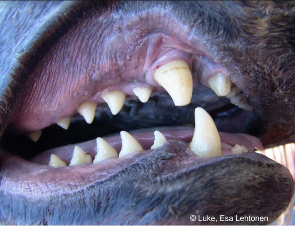 Harmaahylkeen suu, hampaat