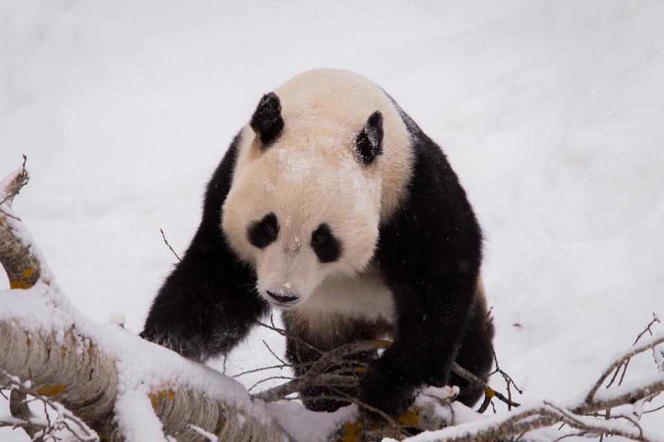 Lumi panda Ähtärissä