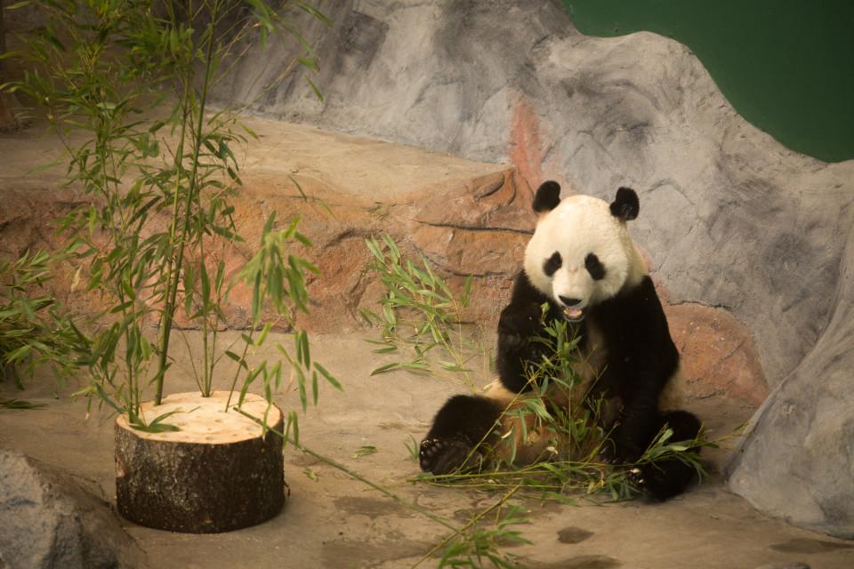 Lumi syö bambua.