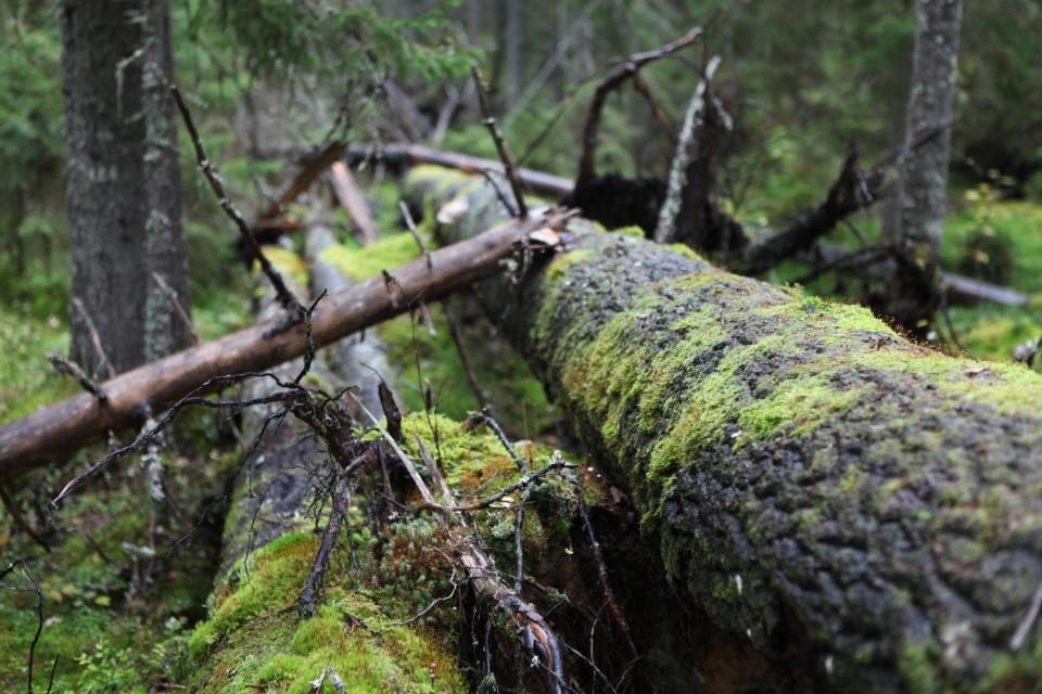 Yksi Euroopan vanhimmista suojelualueista löytyy Muuramesta – katso video ja kuvat unohdetusta aarniometsästä