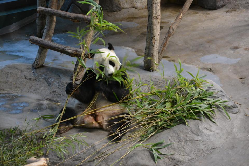 Eläinpuiston pandatalossa jännittävä koemaistelu: Pyry ja Lumi söivät kotimaista bambua ensimmäistä kertaa
