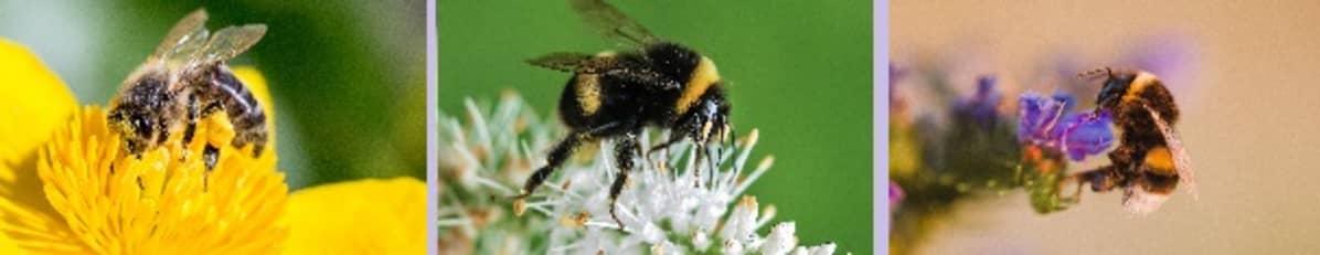 Mehiläinen ja kaksi kimalaista.