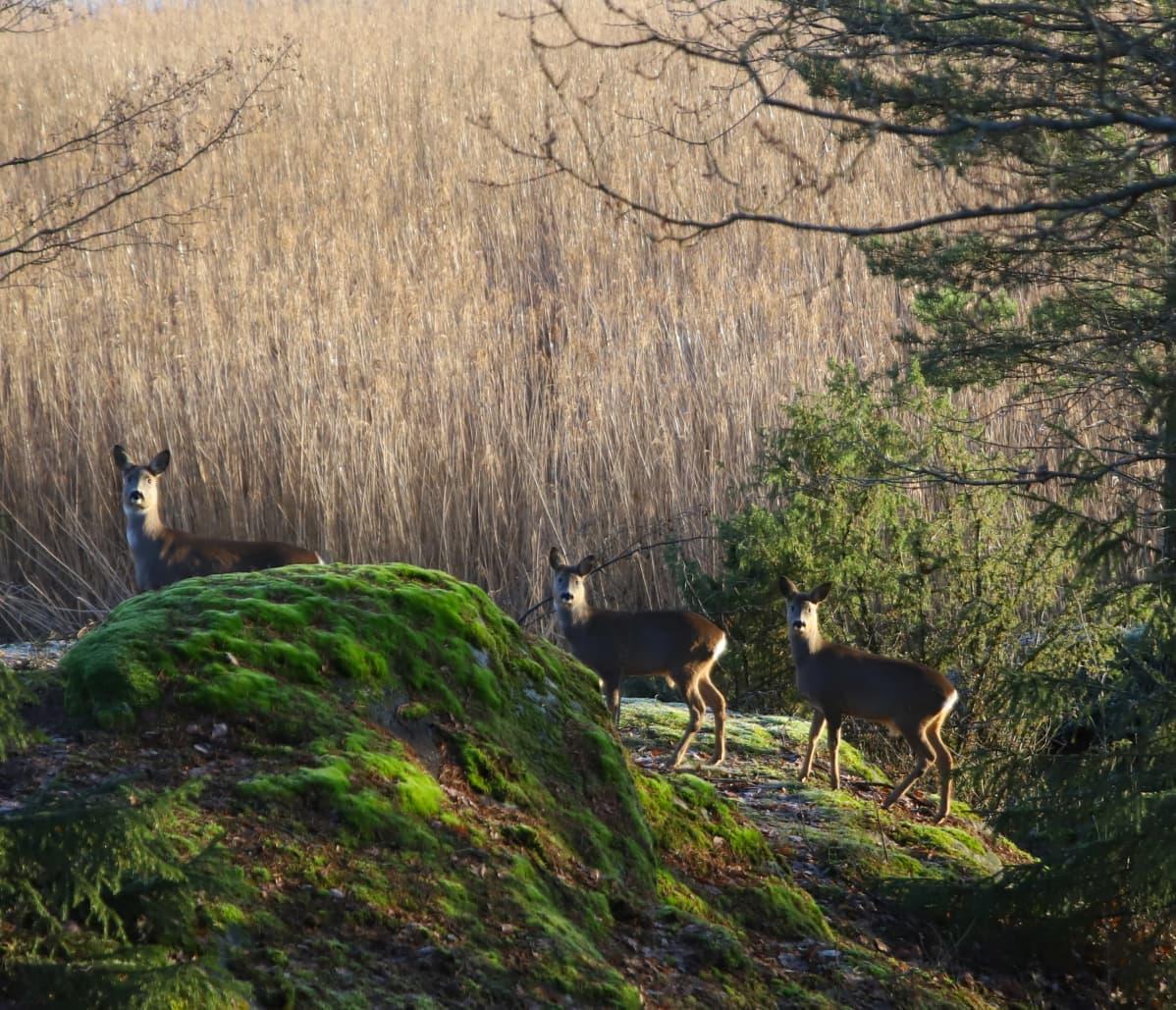 Peurat kirmaavat Karinakodin ikkunoiden takana Turun Hirvensalossa.