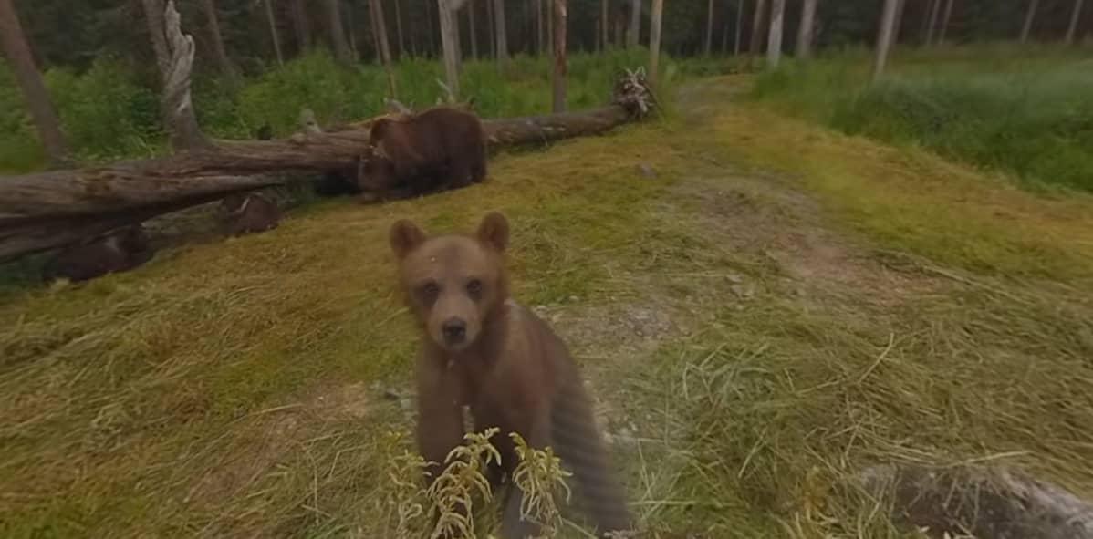 Kuvakaappaus 360-kamerasta: karhunpentu katsoo kameraa