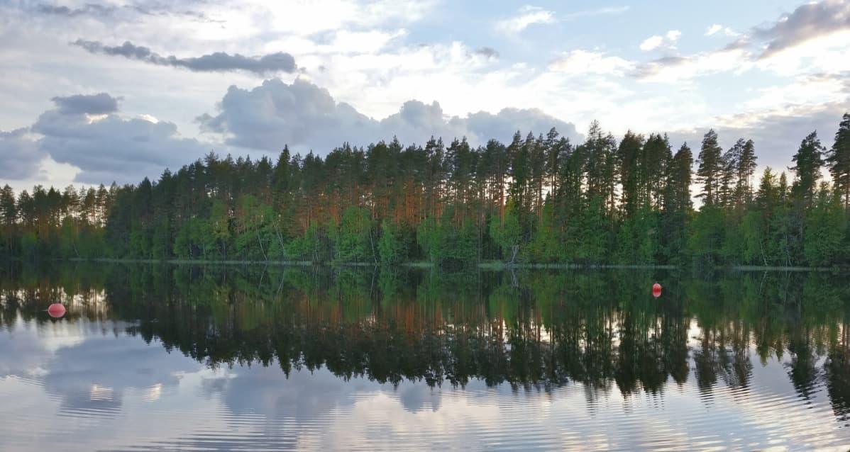 Ilta-auringon kultaamia mäntyjä järvenrannassa.