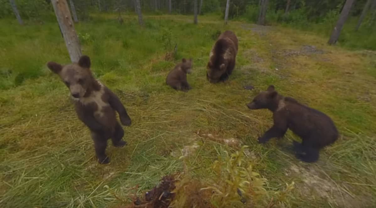 Karhunpentu seisoo takajaloillaan