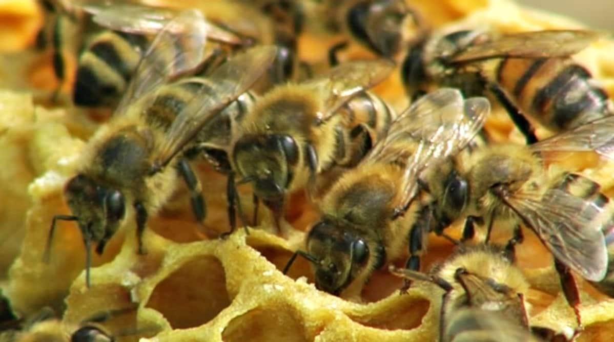 Mehiläisiä