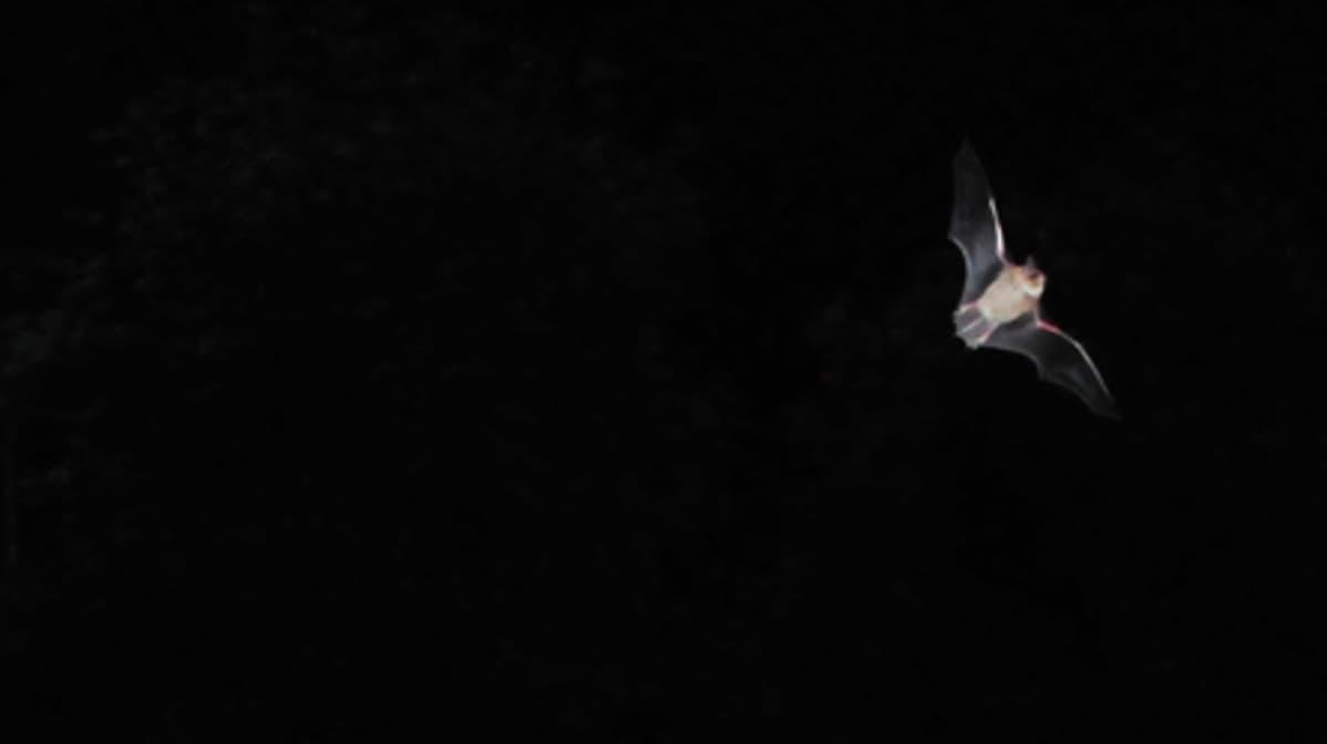 Lepakko lentää pimeässä.
