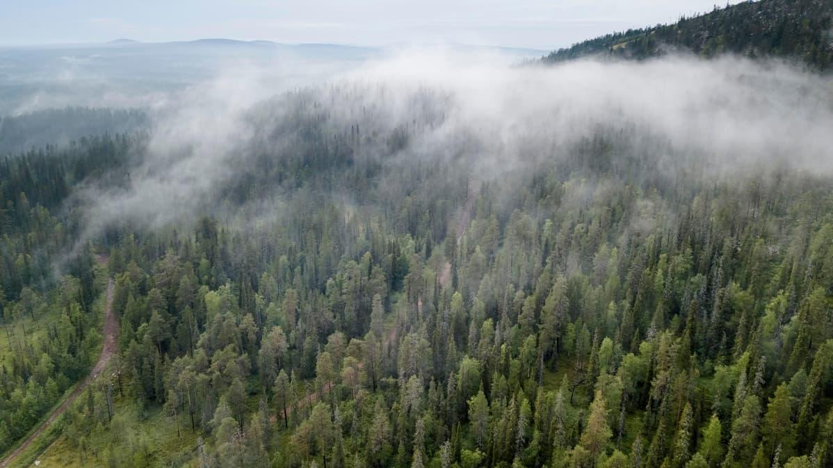 Ilmajohtojen siirto maakaapeliin vapauttaa kymmeniätuhansia hehtaareja metsitykseen