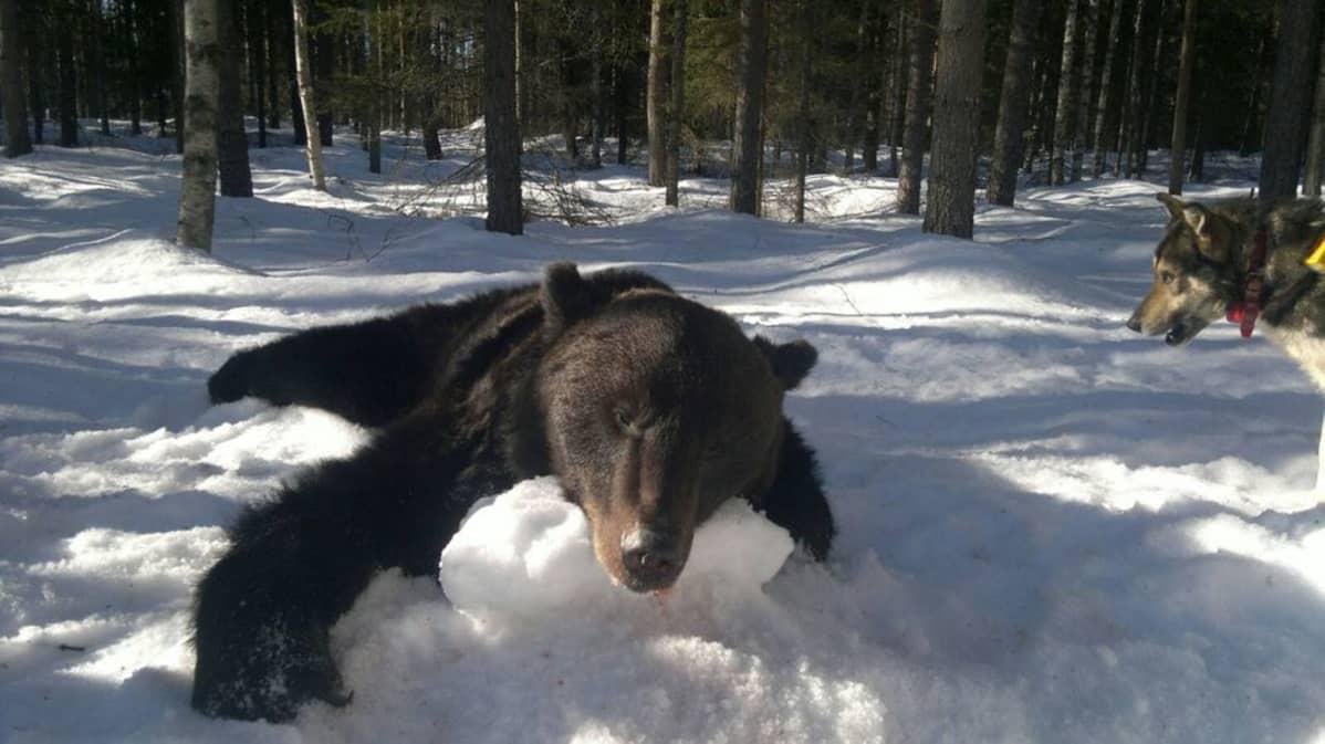 Juuan kaadettu karhu