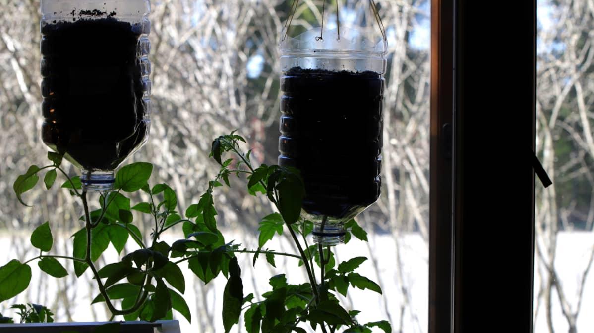 Tomaatit kasvamassa Miika Vanhapihan kodin sisällä ikkunan äärellä.