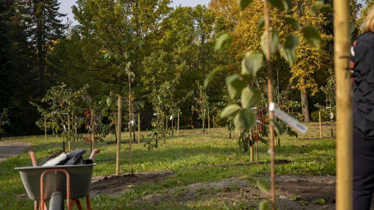 Vastaistutettuja rusokirsikan taimia Lappeenrannassa.