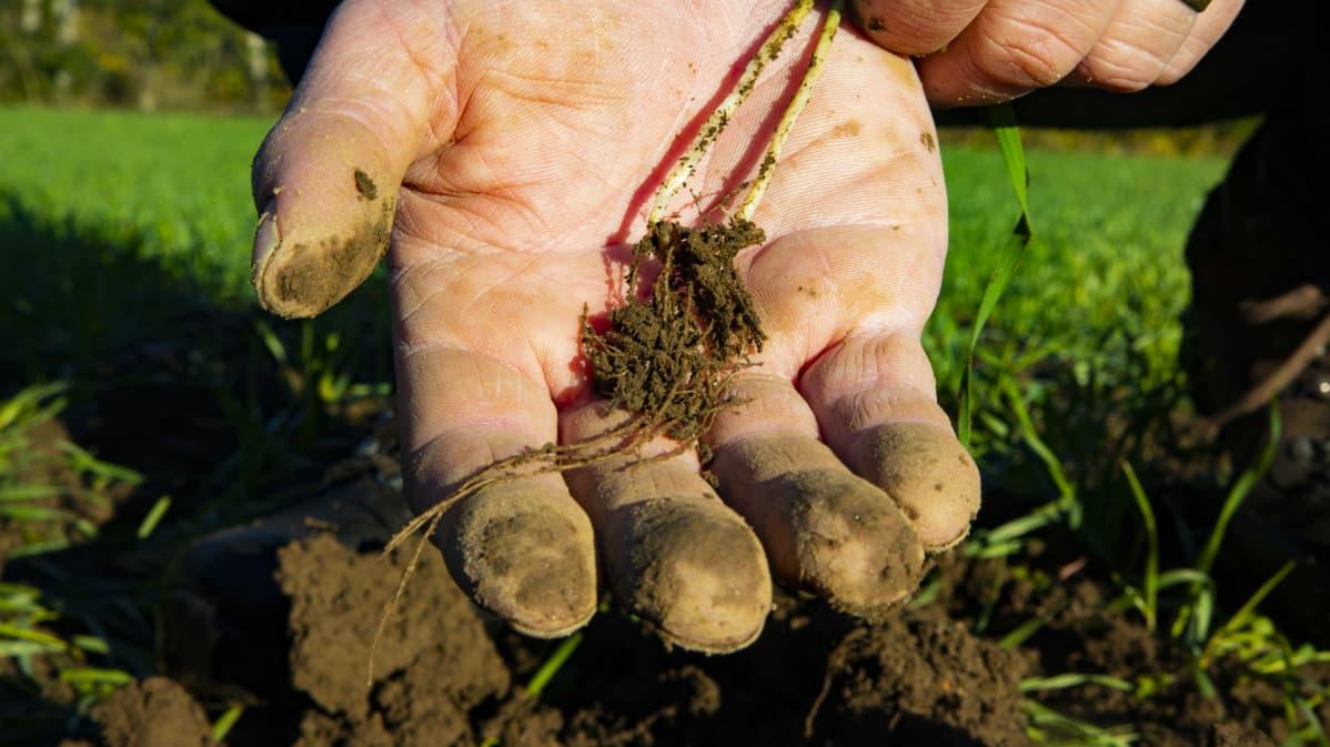 Kasvin juuret viljelijän kämmenellä.