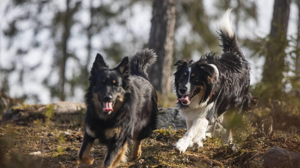Dara ja Urho koirat juoksevat metsässä.