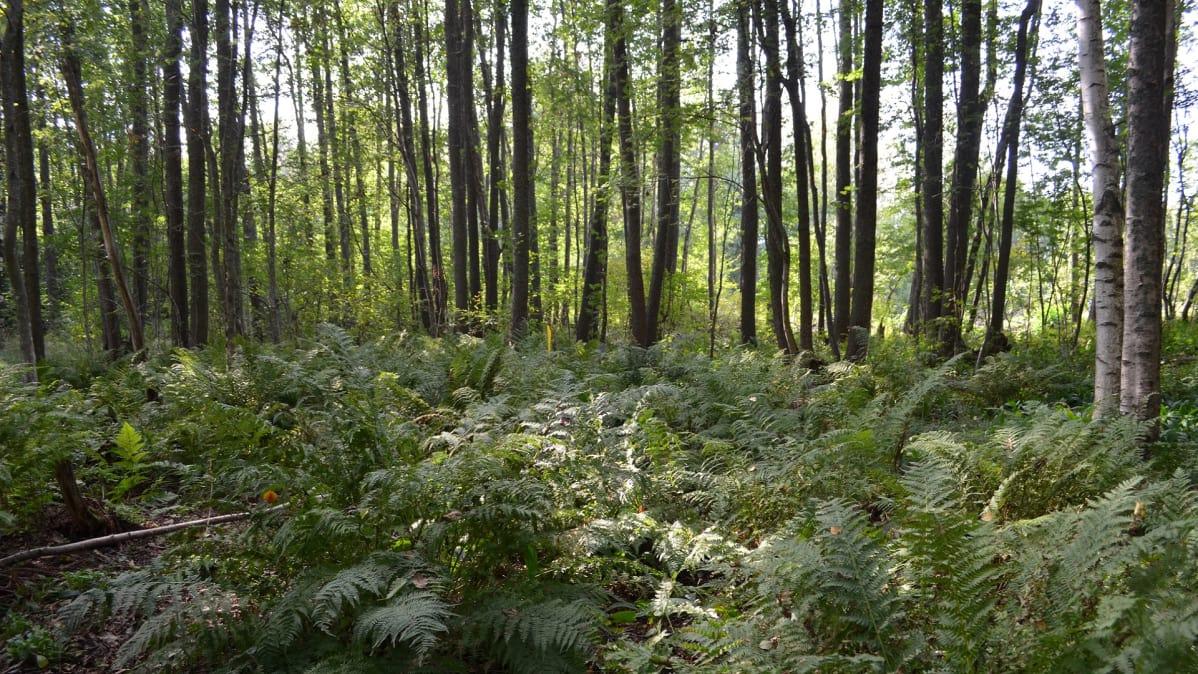 Saniaisten peittämä  vehrä ja vihreä maa, taustalla ohuita puunrunkoja rivissä.