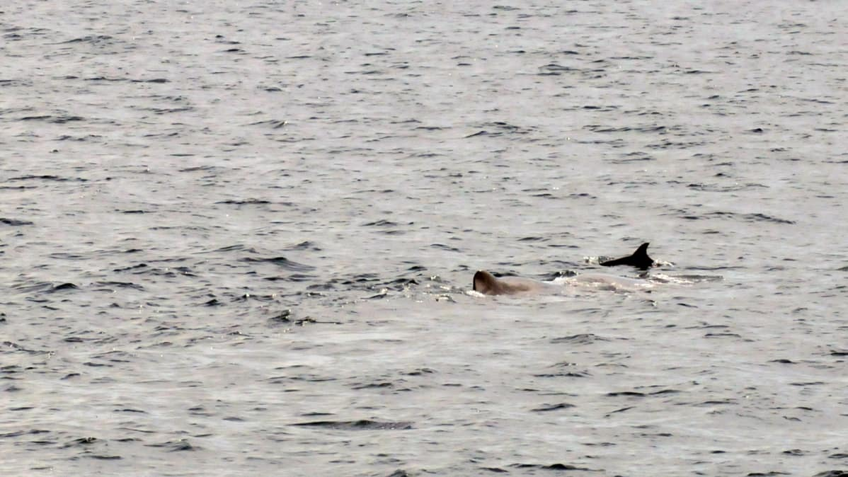 Harvinainen näky: kaskelotti ja delfiini liikkuvat yhdessä.