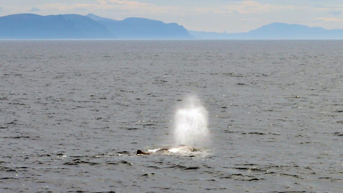 Valaat käyvät pinnalla hengittämässä, jolloin niiden puhaltama vesisuihku voi näkyä kauas